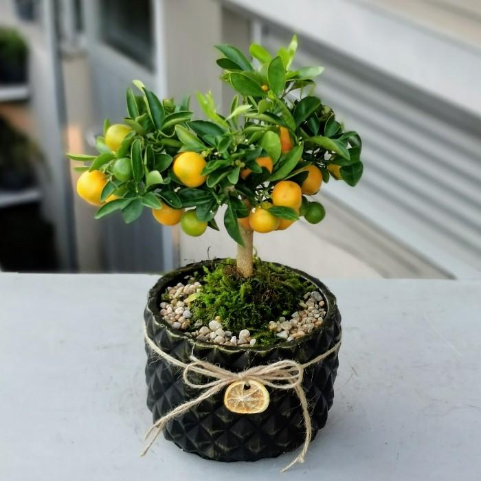 Mandalina Bonsai alt