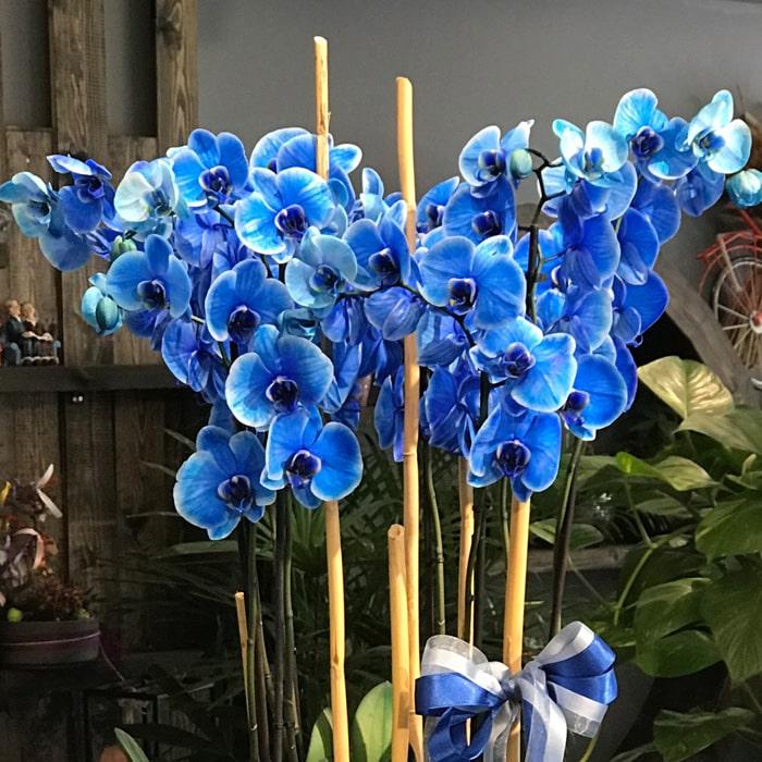 6 Dallı Mavi Orkide alt
