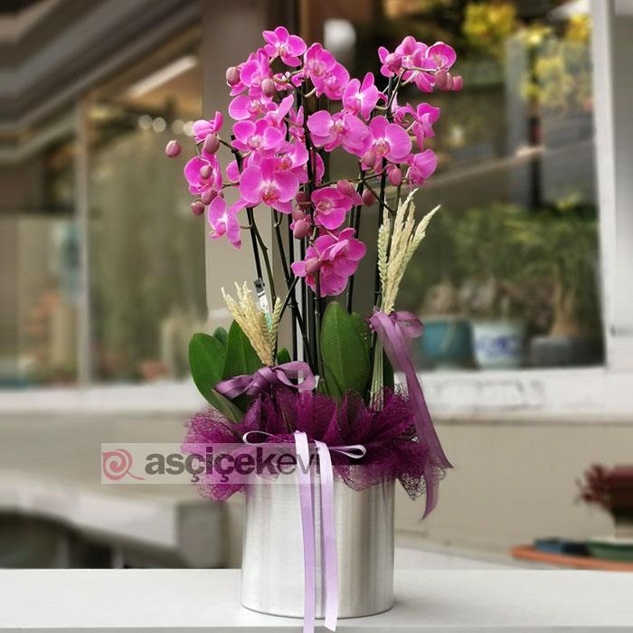 4 Dal Fuşya Orkide