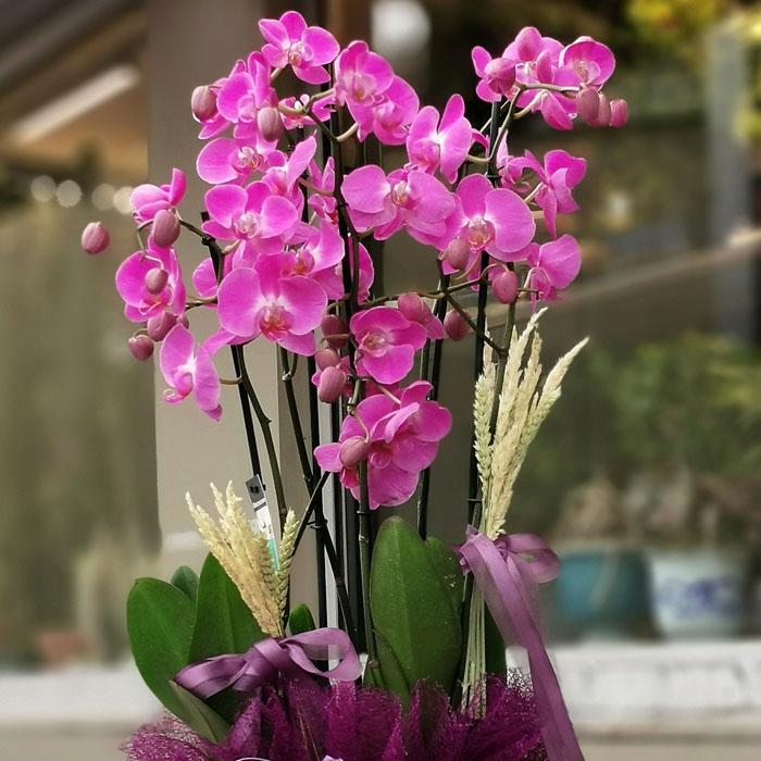 4 Dal Fuşya Orkide alt