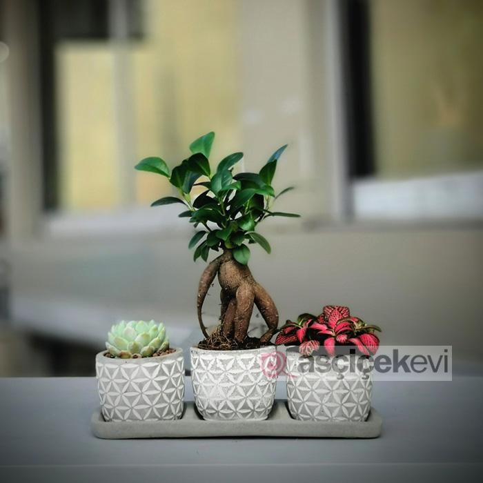 Minyatür Ginseng Bonsai
