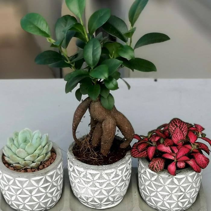 Minyatür Ginseng Bonsai alt