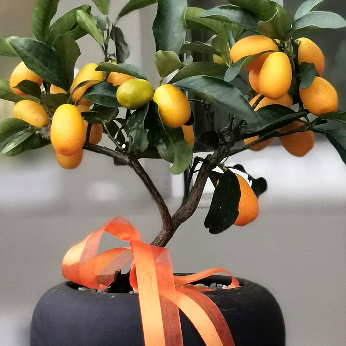 Küçük Kumkuat - Kamkat Ağacı alt