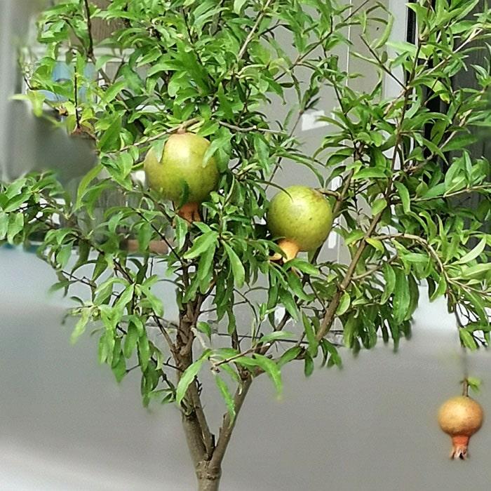 Süs Narı Bonsai Punica Granatum alt