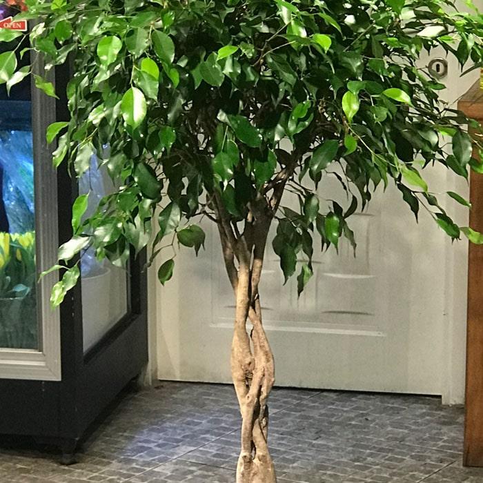 Burgulu Ficus Benjamin alt