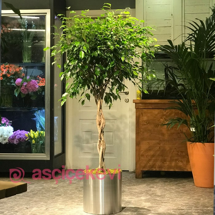 Burgulu Ficus Benjamin