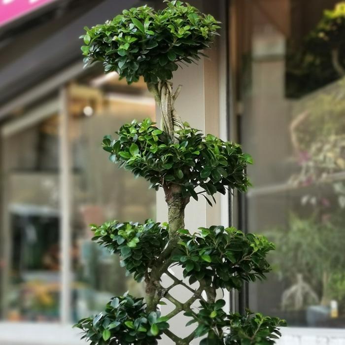 Örgülü Ginseng Bonsai alt