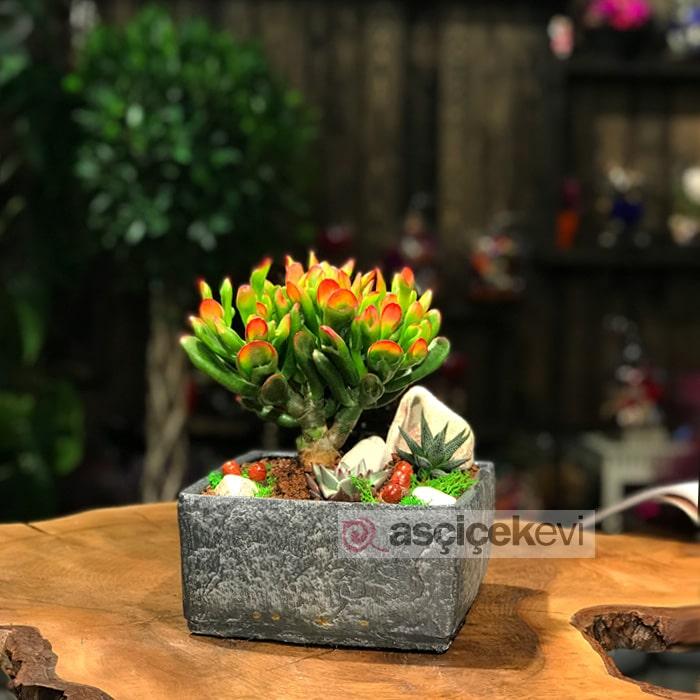 Crassula Hobbit Bonsai