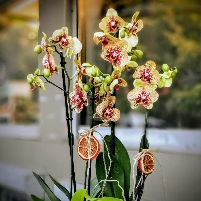 Charmer Orkideler alt