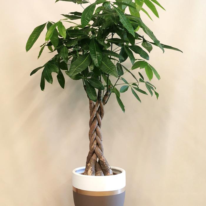 Pachira - Para Ağacı alt