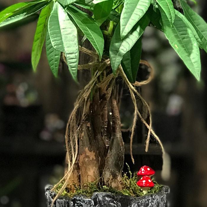 Pachira Bonsai alt