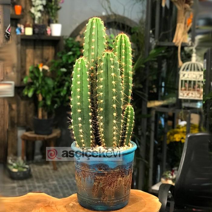Pectina Beriginium Kaktus