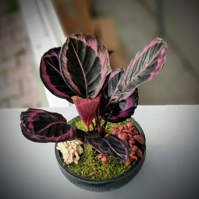 Dua Çiçeği - Calathea Roseopicta alt