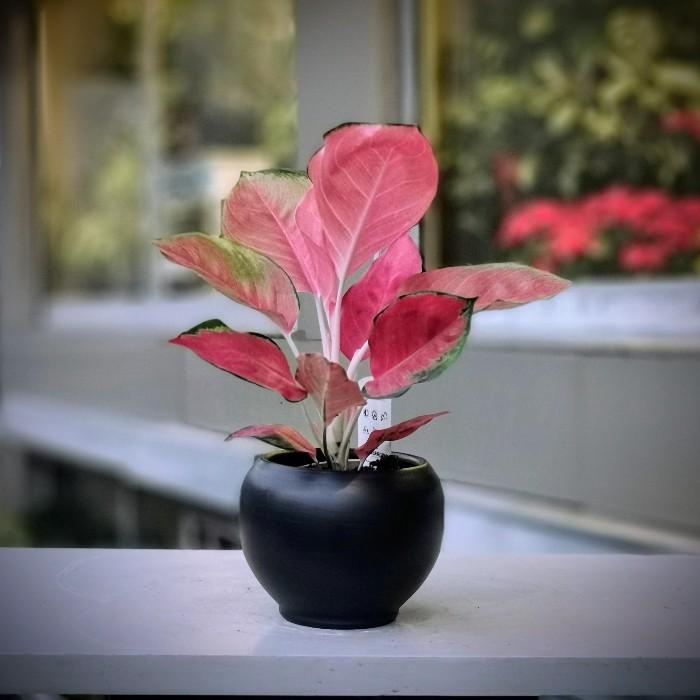 Pink Aglonema