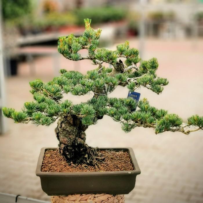 Pinus Parviflora-Çam Bonsai alt