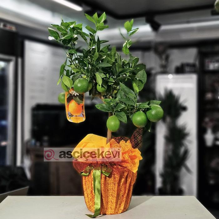 Minyatür Portakal Ağacı