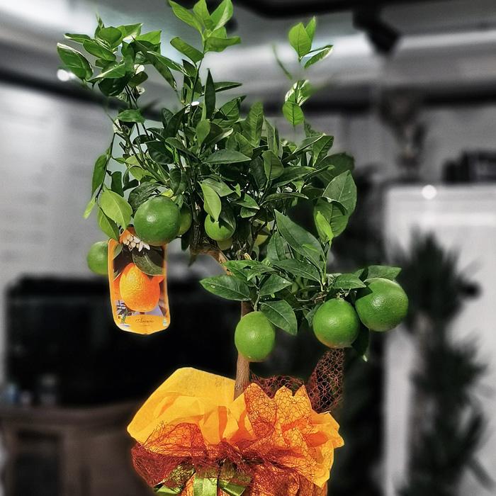 Minyatür Portakal Ağacı alt