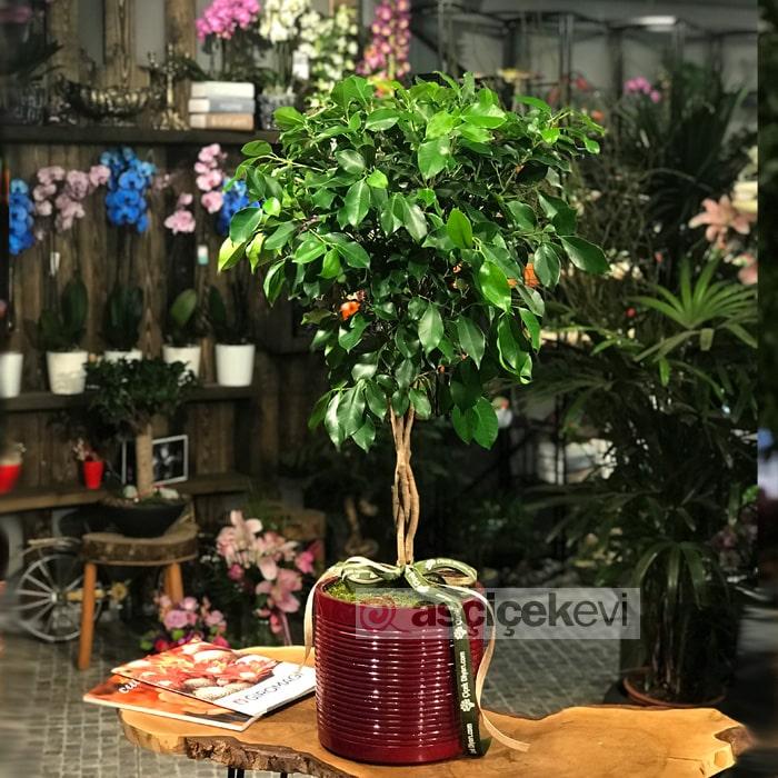 Saç Örgülü Ficus Benjamin