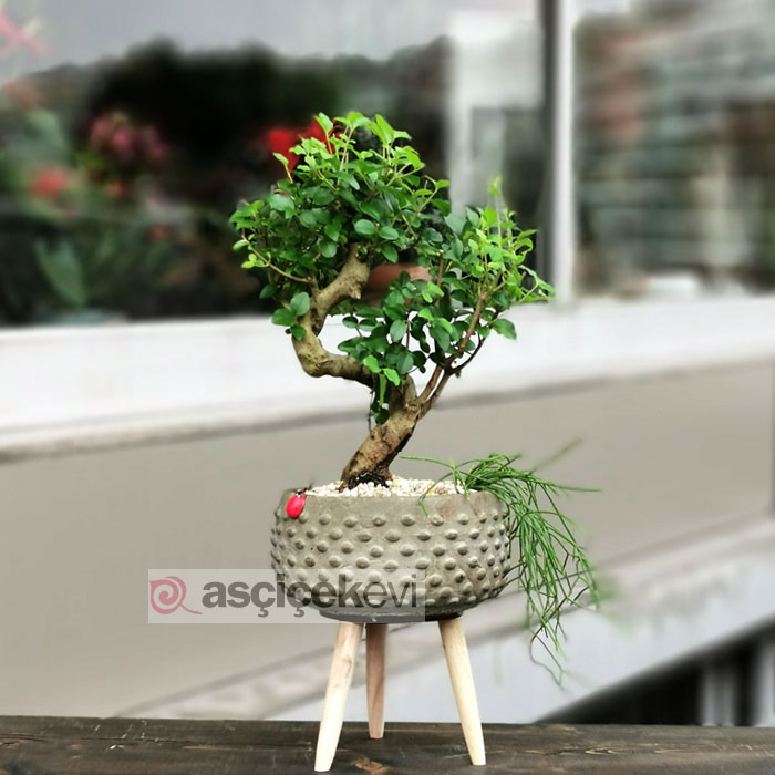 Sageratia Bonsai