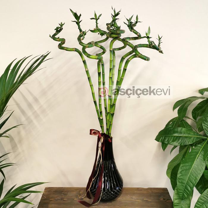 7 Şans Bambusu
