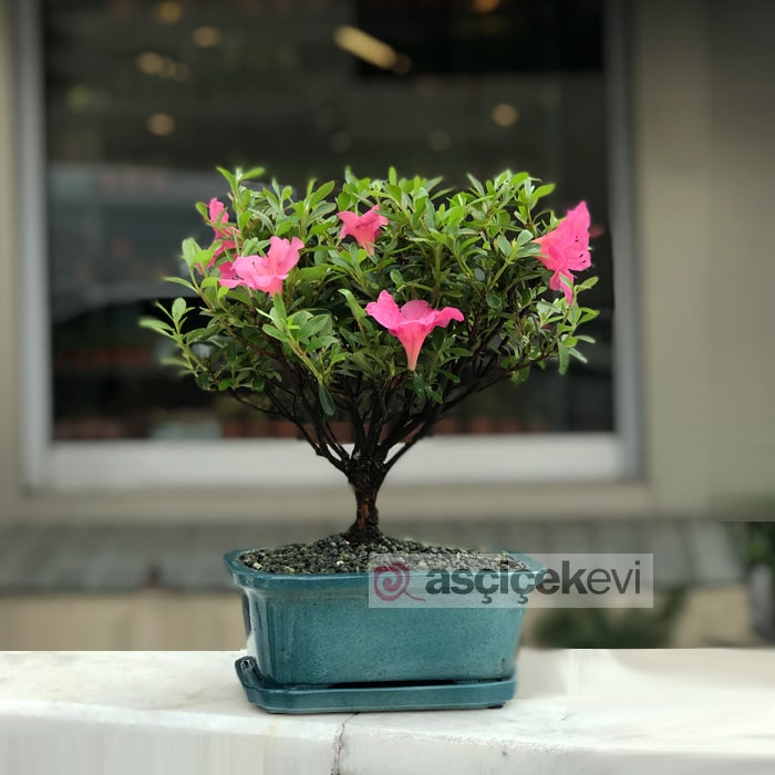 Açelya Bonsai