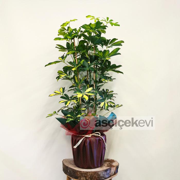 3 Köklü Schefflera Bitkisi