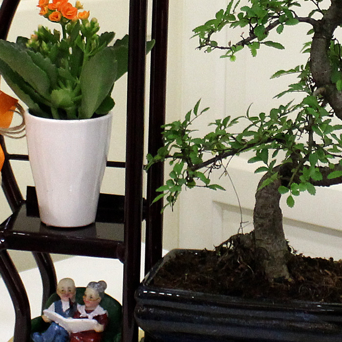 Sehpada Bonsai alt