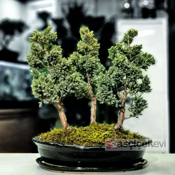 Juniperus Squmata Blue Bonsai