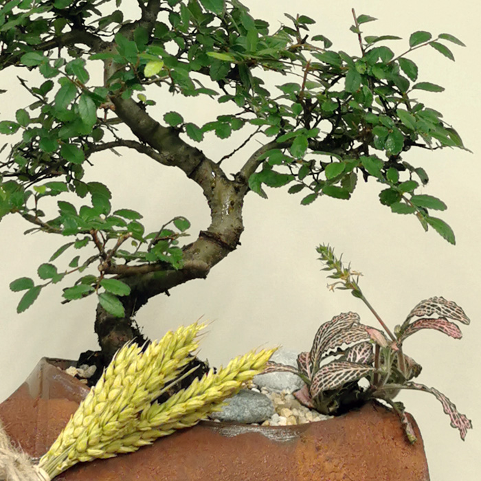 Zelkova Bonsai ve Phitonia alt