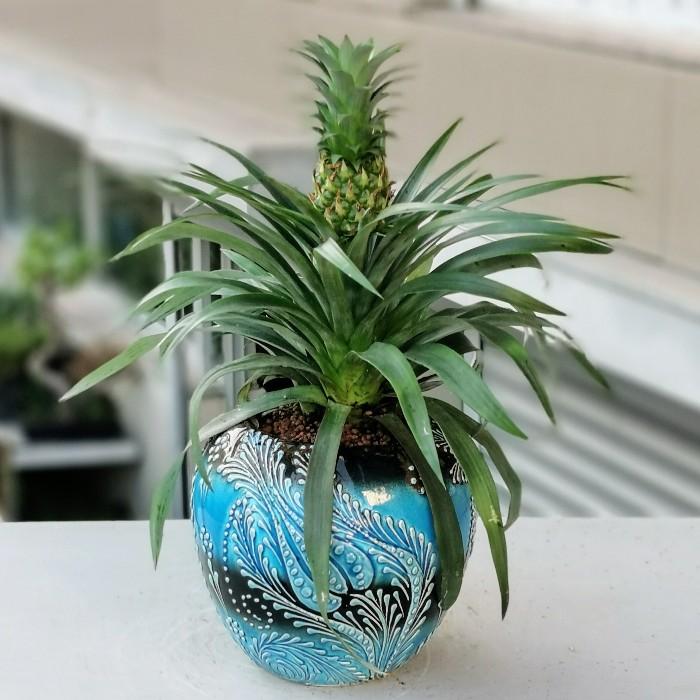 Ananas Comosus alt
