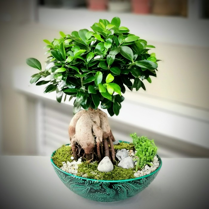 Ficus microcarpa Ginseng alt