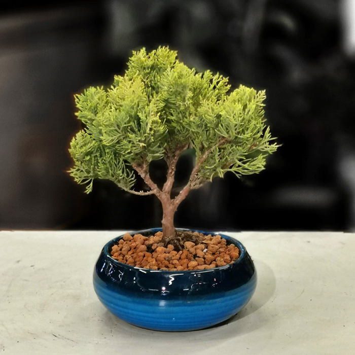 Juniperus - Ardıç Bonsai alt