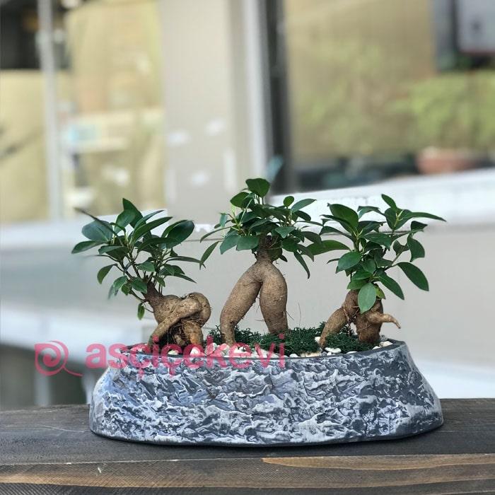 Üçlü Ginseng Bonsai