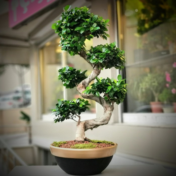 Ginseng Bonsai - 100cm