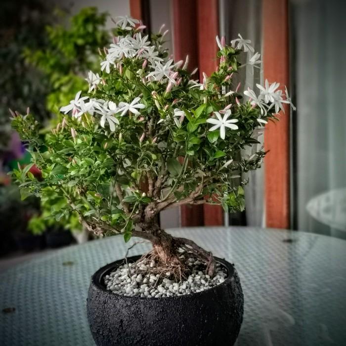 Yasemin Bonsai