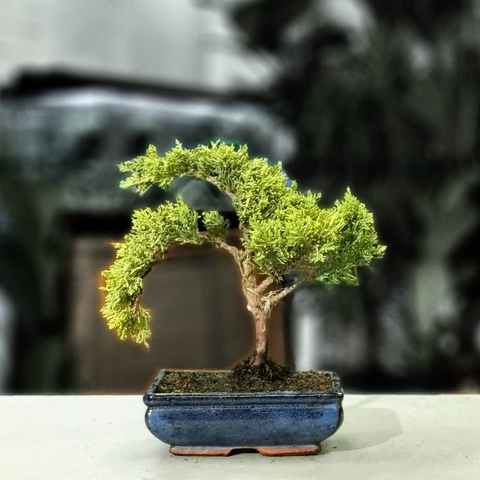 Juniperus - Ardıç Bonsai