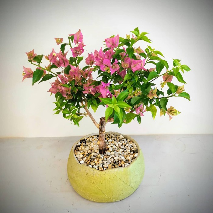 Begonvil Bonsai alt