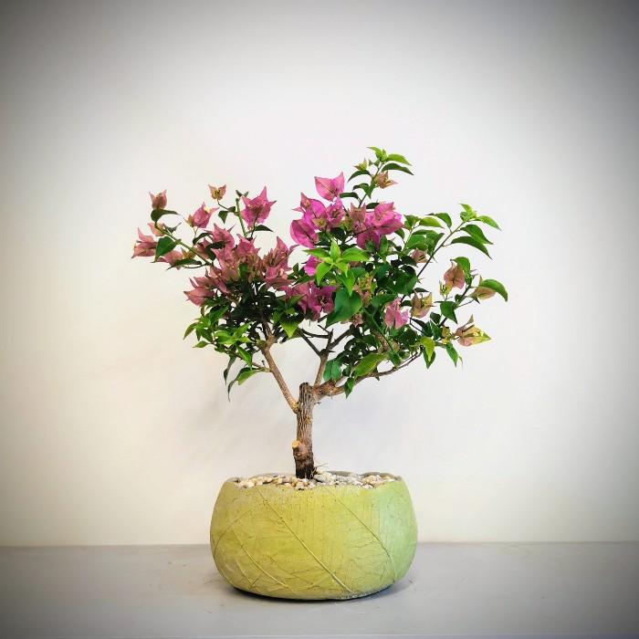 Begonvil Bonsai
