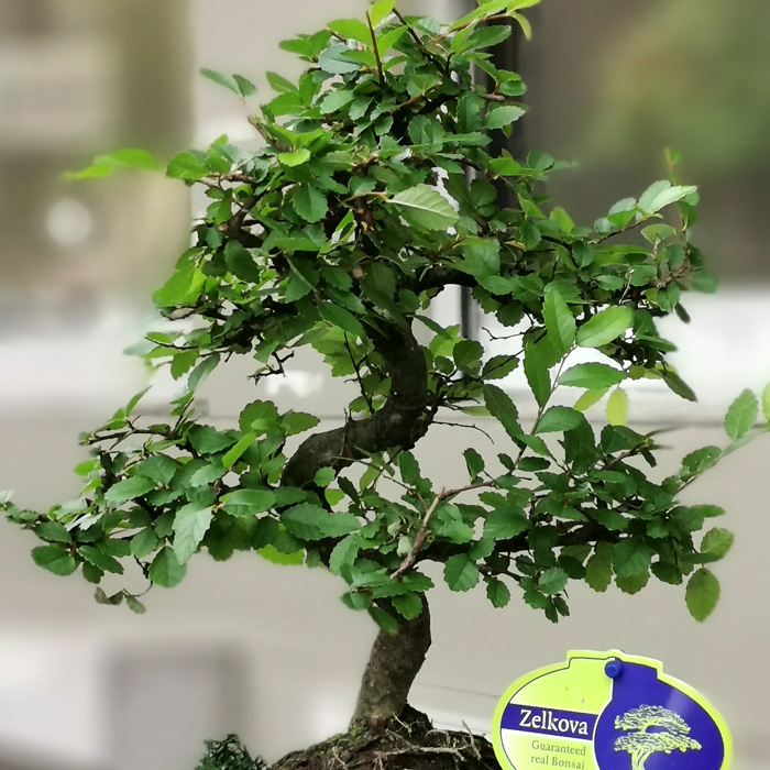 Zelkova Bonsai alt