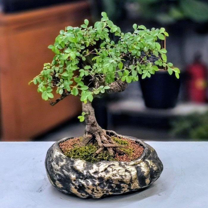 Zelkova Bonsai alt