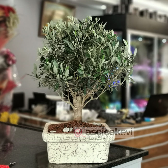 Olive -Zeytin- Bonsai