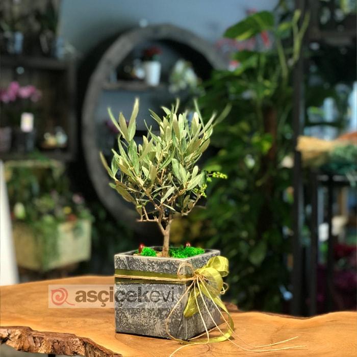 Minyatür Zeytin Ağacı