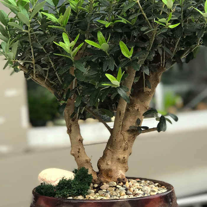 Zeytin Bonsai alt