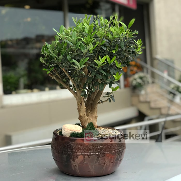 Zeytin Bonsai